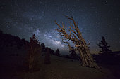 A large bristlecone pine in the Patriarch Grove bears witness to the rising Milky Way, Ancient Bristlecone Pine Forest, California.