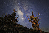 The Milky Way and ancient bristlecone pine. The tree is still alive, among the longest-lived organisms, around 5000 years old, located at Ancient Bristlecone Pine Forest in eastern California, USA.