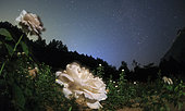 A white rose blooms under the northern stars. Polaris and Cassiopeia are visible.