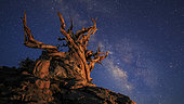 The Milky Way above an ancient bristlecone pine. The tree is still alive, among the longest-lived organisms, around 5000 years old, located at Ancient Bristlecone Pine Forest in eastern California, USA.