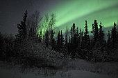Aurora Borealis above trees, Yellowknife, Northwest Territories, Canada.