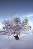 Snow covered tree in the Yukon River, Canada.
