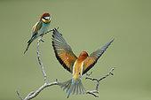 European Bee-eater (Merops apiaster) open wings on a branch, Bratsigovo, Bulgaria