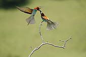 European Bee-eater (Merops apiaster) holding an insect on a branch, Bratsigovo, Bulgaria
