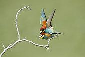 European Bee-eater (Merops apiaster) mating on a branch, Bratsigovo, Bulgaria