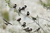 Rosy Starling (Psator roseus) eleven starlings in a shrub, Bratsigovo, Bulgaria