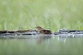 Common Nightingale (Luscinia megarhynchos) bathing, Dimitrovgrad, Bulgarie