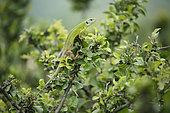 European green lizard (Lacerta viridis) on foliage, Bratsigovo, Bulgaria