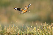 Eurasian Hoopoe (Upupa epops) in flight with prey, Dimitrovgrad, Bulgaria