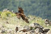 Black Kite (Milvus migrans) in flight, Madzharovo, Bulgaria