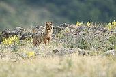 Golden jackal (Canis aureus) alert, Madzharovo, Bulgaria