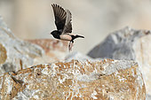 Rosy Starling (Psator roseus) in flight above a rock, Bratsigovo, Bulgaria
