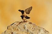 Rosy Starling (Psator roseus) mating on rock, Bratsigovo, Bulgaria