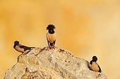 Three Rosy Starling (Psator roseus) on rock, Bratsigovo, Bulgaria