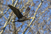 Great Cormorant (Phalacrocorax carbo sinensis), side view of an immature in flight, Campania, Italy