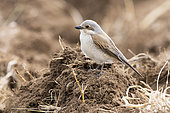 Red-backed Shrike (Lanius collurio), side view of an adult female perched on the ground, Abruzzo, Italy