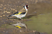 European Goldfinch (Carduelis carduelis), side view of an adult standing in a puddle, Abruzzo, Italy