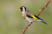 European Goldfinch (Carduelis carduelis), side view of an adult perched on a branch, Abruzzo, Italy