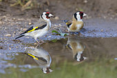 European Goldfinch (Carduelis carduelis), two adults standing in a puddle, Abruzzo, Italy