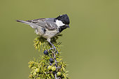 Marsh Tit (Poecile palustris italicus), side view of an adult perched on a Juniper branch, Abruzzo, Italy