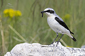 Northern Wheatear (Oenanthe oenanthe), side view of an adult male standing on a rock with a caught caterpillar, Abruzzo, Italy