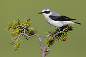 Northern Wheatear (Oenanthe oenanthe), side view of an adult male perched on a Juniper branch, Abruzzo, Italy