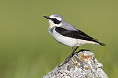 Northern Wheatear (Oenanthe oenanthe), side view of an adult male standing on a rock, Abruzzo, Italy