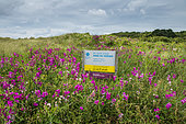 Sweet pea (Lathyrus sp) in bloom at the Anse du Verger Natural Site in summer, Ille-et-Vilaine Brittany, France