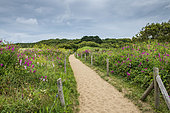 Dune path lined with sweet peas (Lathyrus sp) in summer, Ille-et-Vilaine, Brittany, France