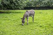 Grey donkey in a meadow, Ille-et-Vilaine, France
