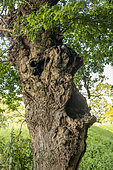 Tree trunk with a monster face in the bocage, Combourg, Ille-et-Vilaine, Brittany, France