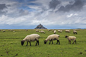 Sheep grazing in the salt meadows of Mont Saint-Michel, Manche, Normandy, France