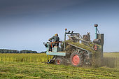 Harvesting flax by grubbing in summer, Peuplingues, Pas-de-Calais, France