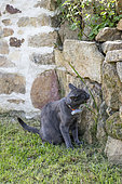 Cat eating grass to purge in a garden, France