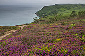 Heather in bloom on the moor in summer, Crozon peninsula, Finistère, Brittany, France