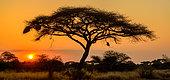 Acacia (Faidherbia) tree in silhouette at sunset. Kenya.