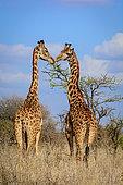 Masai giraffe, Maasai giraffe, or Kilimanjaro giraffe (Giraffa tippelskirchii). Kenya.