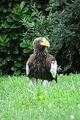 Steller's Sea Eagle (Haliaeetus pelagicus) in grass