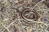 Slow worm (Anguis fragilis) in dry grass, Asturias, Spain