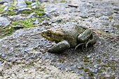 Giant Common Toad (Bufo spinosus) on a rock, Asturias, Spain