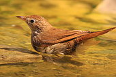 Rufous Nightingale (Luscinia megarhynchos) bathing, Europe