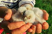 Rescue of Little owl (Athene noctua) chicks, Europe