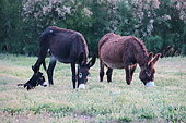 Donkeys (Equus asinus) grazing and young, Europe