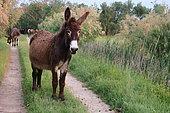Donkeys (Equus asinus) on a path, Europe