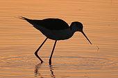 Black-winged Stilt (Himantopus himantopus) in water at dawn, Europe