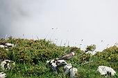 Ring Ouzel (Turdus torquatus) on rock, Europe