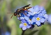Dusky-horned Nomad Bee (Nomada bifasciata) female on forget-me-not flowers, Vosges du Nord Regional Nature Park, France