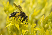Solitary bee (Andrena combinata) female on Goldmoss stonecrop (Sedum acre) flowers, Vosges du Nord Regional Nature Park, France