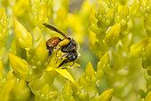 Solitary bee (Andrena schencki) female on Goldmoss stonecrop (Sedum acre) flowers, Vosges du Nord Regional Nature Park, France