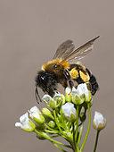 Andrenid Bee (Andrena tscheki) female on Shepherd's purse (Capsella bursa-pastoris) fleowers, Vosges du Nord Regional Nature Park, France
